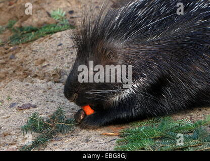 Indian crested porcupine (Hystrix indica) - Stock Photo