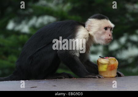 White headed capuchin (Cebus capucinus)  enjoying frozen fruit in summer a.k.a. white faced or white throated capuchin - Stock Photo