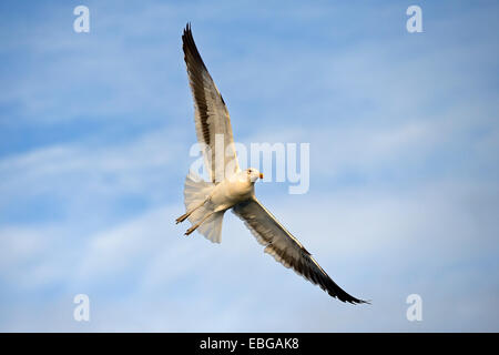Kelp Gull or Dominican Gull (Larus dominicanus) subadult plumage, False Bay, Western Cape, South Africa - Stock Photo