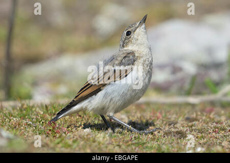Young wheatear (Oenanthe oenanthe) looking up - Stock Photo