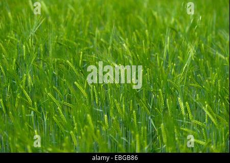 Grainfield with immature ears of Barley (Hordeum vulgare), Aschheim, Upper Bavaria, Bavaria, Germany - Stock Photo