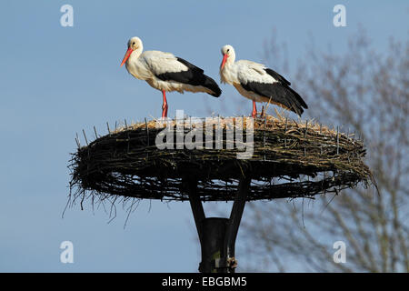 White Storks (Ciconia ciconia) on their nest, pair on a artificial nesting aid, Wilstedt, Lower Saxony, Germany - Stock Photo