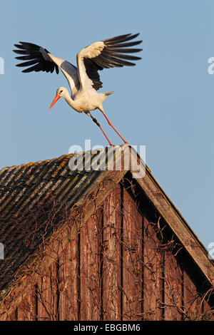 White Stork (Ciconia ciconia) taking off from a roof, in the evening light, Bergenhusen, Schleswig-Holstein, Germany - Stock Photo