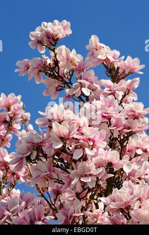 Blooming Magnolia (Magnolia) against a blue sky, Eckental, Middle Franconia, Bavaria, Germany - Stock Photo