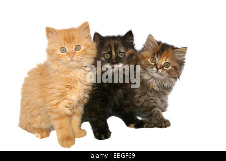 German Longhair kitten - Stock Photo