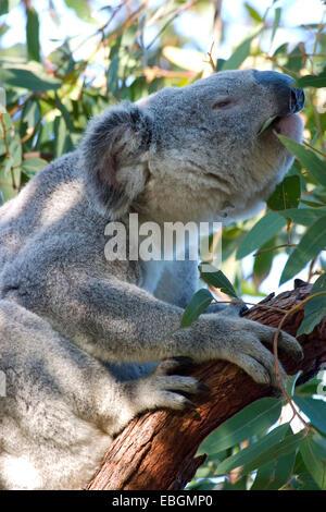 koala, koala bear (Phascolarctos cinereus), feeding, Australia, Queensland, Magnetic Island - Stock Photo
