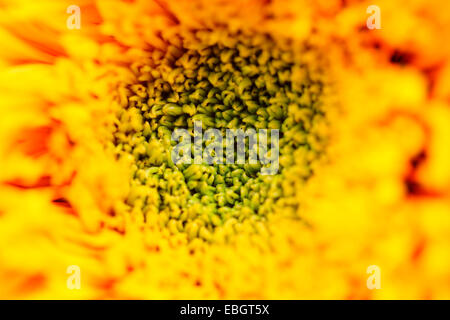 Striking Impressive Teddy Bear Sunflower Head Close Up Jane Ann Butler Photography JABP644 - Stock Photo