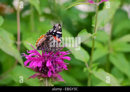 Red admiral butterfly on bee balm flower. - Stock Photo