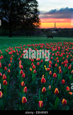 View at sunset of the Washington Monument in the distance with tulips in the foreground. - Stock Photo