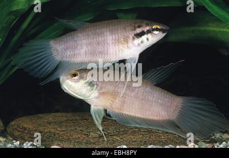 mouthbrooding fighting fish, Penang betta (Betta pugnax). - Stock Photo