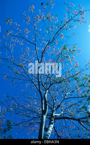 mountain immortelle (Erythrina poeppigiana), blooming tree against blue sky. - Stock Photo