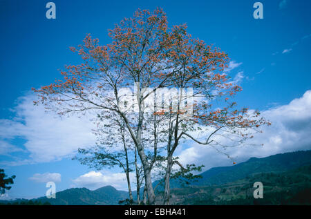 mountain immortelle (Erythrina poeppigiana), blooming tree. - Stock Photo