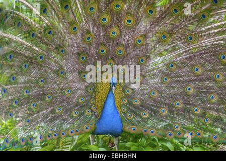 Common peafowl, Indian peafowl, blue peafowl (Pavo cristatus), displaying male, Germany, North Rhine-Westphalia - Stock Photo