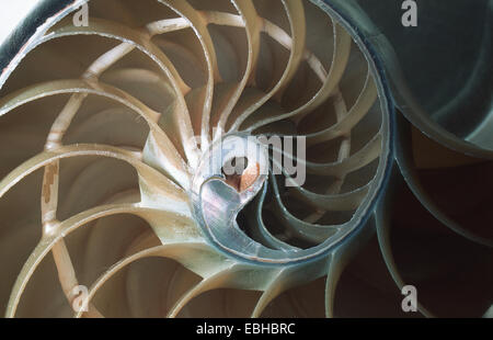 chambered nautiluses, pearly nautiluses (Nautilus spec.), section through shell. - Stock Photo
