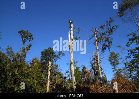 storm Ela caused serious damage to forest Schellenberg, Germany, Ruhr Area, Essen - Stock Photo