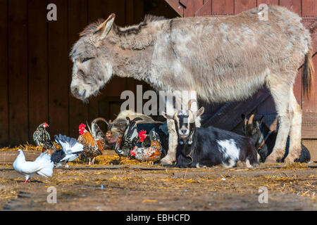 different species of farm animals in an open-air enclosure, Germany, North Rhine-Westphalia - Stock Photo