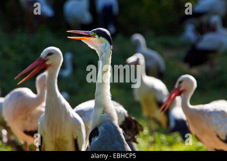 white stork (Ciconia ciconia), several storka and a crane, Germany, North Rhine-Westphalia - Stock Photo