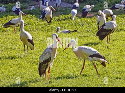 white stork (Ciconia ciconia), large group in a meadow, Germany, North Rhine-Westphalia - Stock Photo