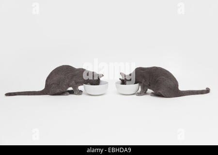 Studio shot of two russian blue kittens opposite each other eating from bowls - Stock Photo