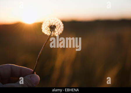 Farmers hand holding up dandelion clock at sunset, Missouri, USA - Stock Photo