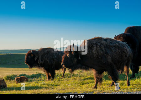 Plains Bison (Bison bison bison) American Buffalo, Bison Paddock, Waterton Lakes National Park, Alberta - Stock Photo