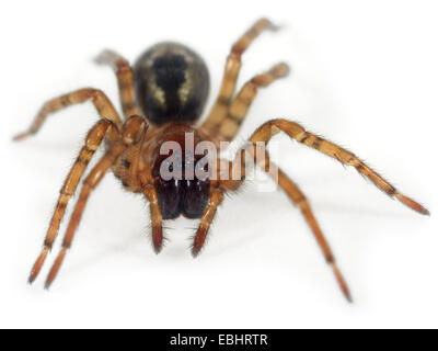 A Window lace-weaver (Amaurobius fenestralis) on white background. Window lace-weaver spiders are part of family - Stock Photo