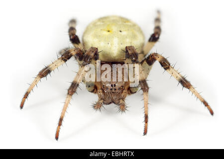 A Four-spot orbweaver (Araneus quadratus) on white background. Four-spot orbweavers are part of the family Araneidae - Stock Photo