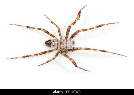 A Cross spider, or Garden Spider (Araneus quadratus) on white background. Cross spiders are part of the family Araneidae - Stock Photo