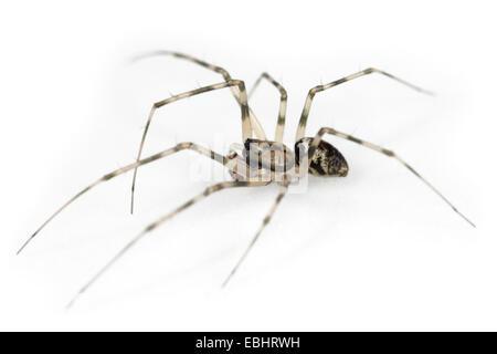 A male Invisible spider (Drapetisca socialis) on a white background. Part of the family Linyphiidae - Sheetweb weavers. - Stock Photo