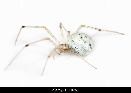 A female Candystripe (or Polymorphic) spider (Enoplognatha ovata) on a white background, part of the family Theridiidae - Stock Photo