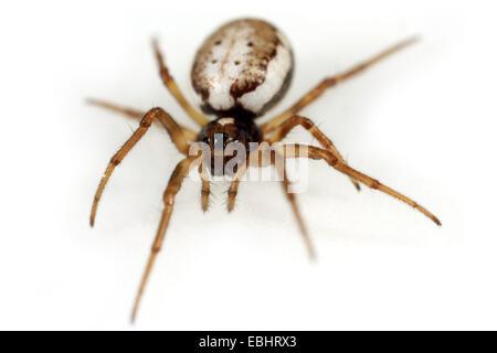 A Female orbweaving spider (Hypsosinga albovittata) on white background. Orbweaving spiders are part of the family - Stock Photo