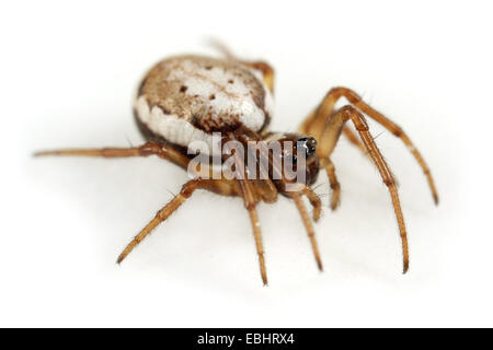 A Female orbweaving spider (Hypsosinga albovittata) on white background. Orbweaving spiders are part of the family - Stock Photo
