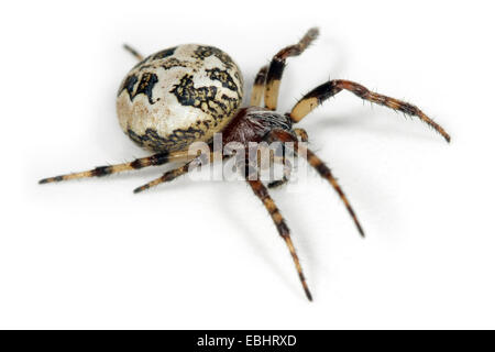 A female Furrow Orbweaver (Larinioides cornutus) on white background. Family Araneidae, Orbweaving spiders. - Stock Photo