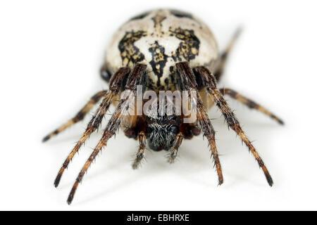A female Furrow Orbweaver (Larinioides cornutus) on white background. Family Araneidae, Orbweaving spiders. - Stock Photo