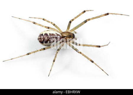 A female Common Hammock-weaver (Linyphia triangularis) spider on a white background, part of the family Linyphiidae - Stock Photo