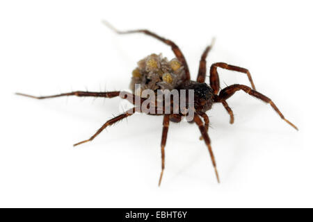 A female Common Wolf-Spider (Pardosa pullata), carrying its spiiderlings on its back, part of the family Lycosidae - Stock Photo