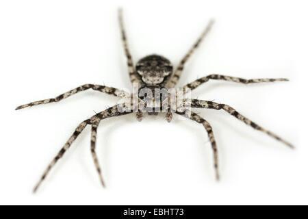 Lichen Running-spider (Philodromus margaritatus) on a white background, part of the family Philodromidae - Running - Stock Photo