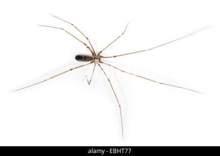 Female Cellar spider (Pholcus phalangioides), on a white background, part of the famile Pholcidae, Cellar or Daddylongleg - Stock Photo