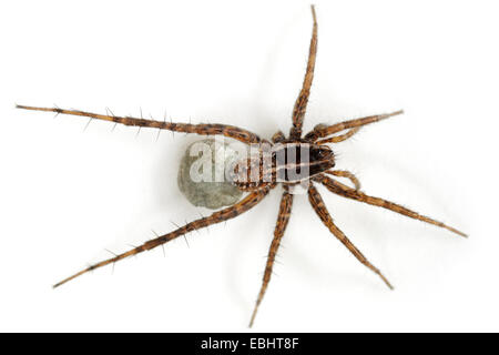 Female Pardosa palustris spider on white background. Family Lycosidae, Wolf spiders. The spider is carrying an egg - Stock Photo