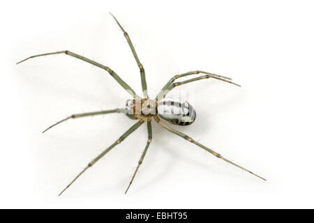 A female Black-Tailed Hammock-Spider (Neriene emphana) on a white background, part of the family Linyphiidae - Sheetweb - Stock Photo