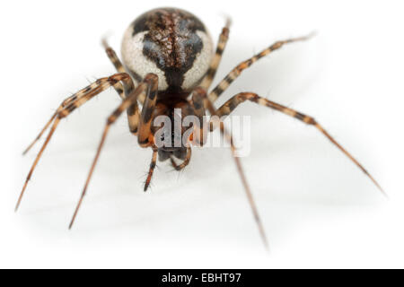 Female (Neriene montana) spider on a white background, part of the family Linyphiidae, the Sheetweb weavers. - Stock Photo