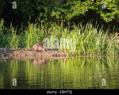 European Beaver (Castor fiber), just Before Sunset by a river in Sweden. Normally they are hard to spot in daylight. - Stock Photo