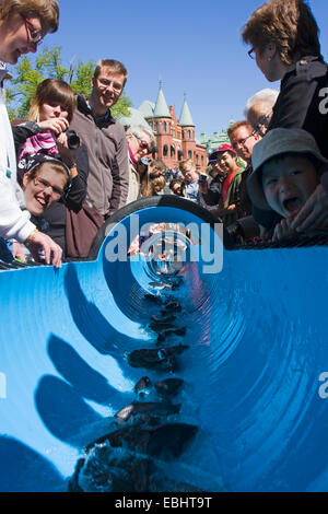 People in Nykoping, Sweden, watching young Sea trouts (Salmo trutta) being released into a river by a water slide. - Stock Photo