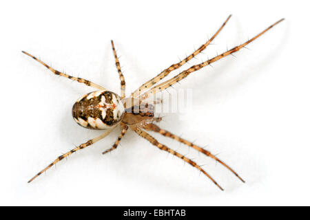 A female Long-jawed orbweaver (Metellina mengei) on white background. These spiders are part of the family Tetragnathidae, - Stock Photo