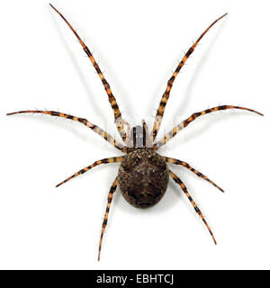 A female longjawed orbweaver (Metellina merianae) on a white background. Longjawed orbweavers are part of the family - Stock Photo