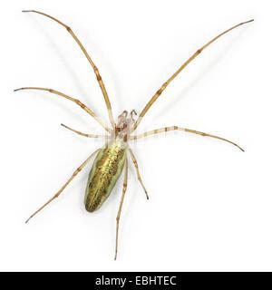 A female Common Stretch-spider (Tetragnatha extensa), on a white background, part of family Tetragnathidae - Long - Stock Photo