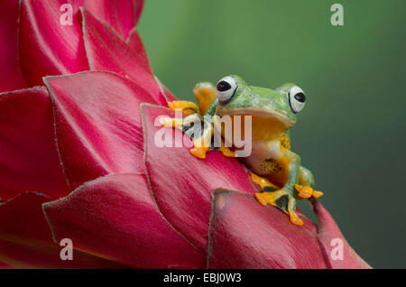 Flying Frog on Red Ginger flower - Stock Photo