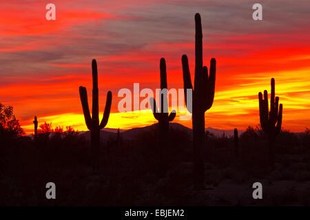 saguaro cactus (Carnegiea gigantea, Cereus giganteus), large individuals at sunset, USA, Arizona, Phoenix - Stock Photo