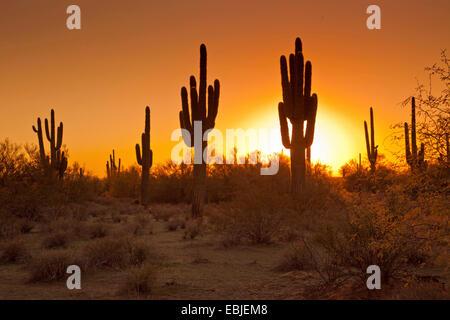 saguaro cactus (Carnegiea gigantea, Cereus giganteus), group at sunset, USA, Arizona, Phoenix - Stock Photo