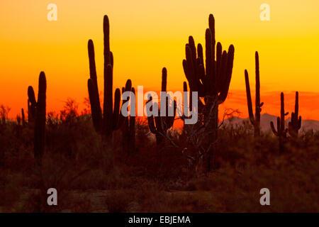 saguaro cactus (Carnegiea gigantea, Cereus giganteus), group in the evening, USA, Arizona, Phoenix - Stock Photo